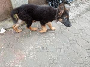 1-3 Month Female Purebred Caucasian Shepherd | Dogs & Puppies for sale in Imo State, Owerri