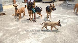 1-3 Month Female Purebred German Shepherd   Dogs & Puppies for sale in Lagos State, Ejigbo