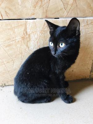 1-3 Month Male Mixed Breed Bombay | Cats & Kittens for sale in Abuja (FCT) State, Wuse 2
