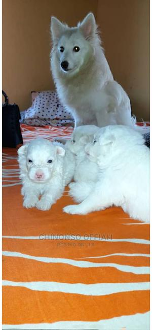 0-1 Month Female Purebred American Eskimo   Dogs & Puppies for sale in Enugu State, Nsukka