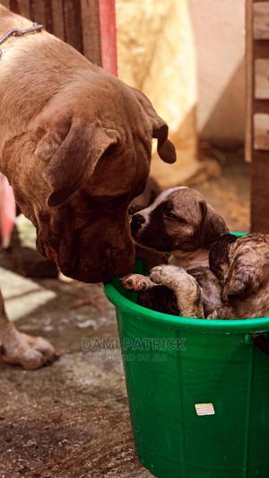 0-1 Month Male Purebred Boerboel   Dogs & Puppies for sale in Ondo State, Akure