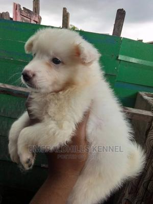 0-1 Month Male Purebred American Eskimo | Dogs & Puppies for sale in Lagos State, Eko Atlantic