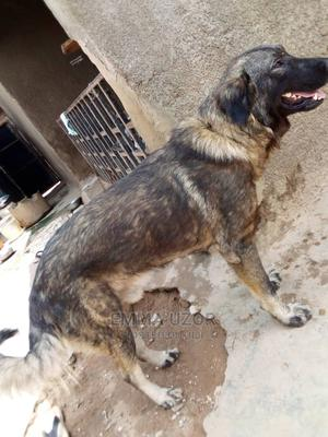 1+ Year Male Purebred Caucasian Shepherd | Dogs & Puppies for sale in Abuja (FCT) State, Kuje