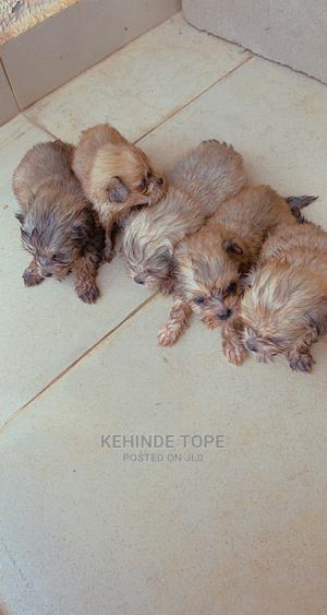 0-1 Month Male Purebred Lhasa Apso   Dogs & Puppies for sale in Kwara State, Ilorin West
