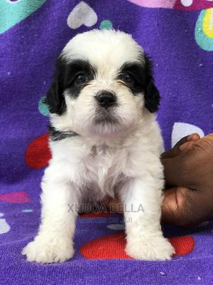 0-1 Month Female Purebred Lhasa Apso   Dogs & Puppies for sale in Rivers State, Obio-Akpor