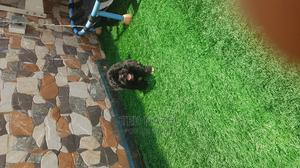 1-3 Month Male Purebred Lhasa Apso   Dogs & Puppies for sale in Abuja (FCT) State, Gwarinpa