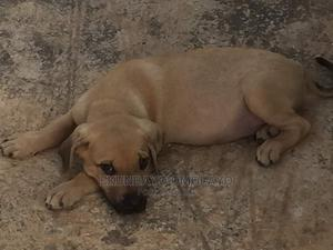 1-3 Month Female Purebred Boerboel   Dogs & Puppies for sale in Rivers State, Port-Harcourt