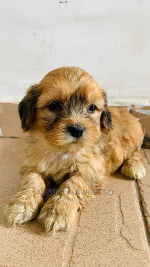 1-3 Month Male Purebred Lhasa Apso   Dogs & Puppies for sale in Abuja (FCT) State, Lokogoma