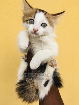 1-3 Month Male Mixed Breed Turkish Angora | Cats & Kittens for sale in Abuja (FCT) State, Jabi