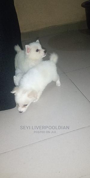 1-3 Month Female Purebred American Eskimo | Dogs & Puppies for sale in Lagos State, Agboyi/Ketu