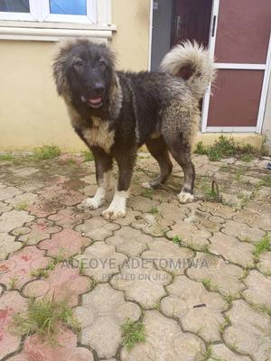 6-12 Month Male Purebred Caucasian Shepherd   Dogs & Puppies for sale in Oyo State, Ibadan