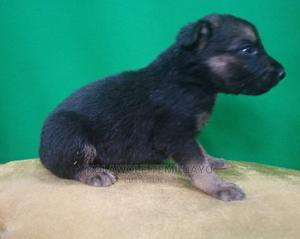 0-1 Month Female Purebred German Shepherd   Dogs & Puppies for sale in Kwara State, Ilorin West