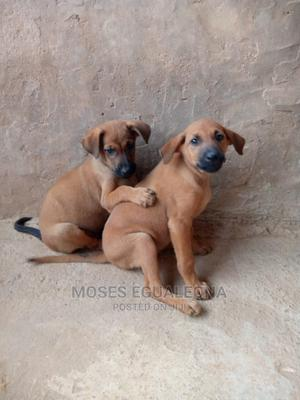 1-3 Month Female Mixed Breed German Shepherd | Dogs & Puppies for sale in Edo State, Benin City