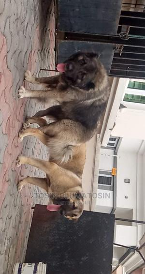 1+ Year Female Purebred Caucasian Shepherd | Dogs & Puppies for sale in Lagos State, Ikoyi