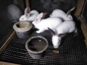 Well Bred Rabbits for Sale   Other Animals for sale in Ogun State, Abeokuta North