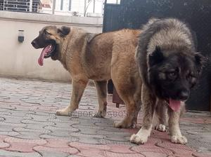 6-12 Month Female Purebred Caucasian Shepherd | Dogs & Puppies for sale in Lagos State, Ikoyi