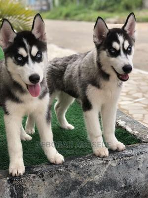 3-6 Month Male Purebred Siberian Husky | Dogs & Puppies for sale in Lagos State, Ikoyi