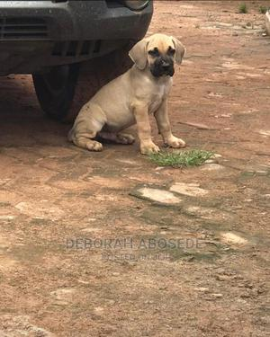 0-1 Month Male Purebred Boerboel | Dogs & Puppies for sale in Lagos State, Ikoyi