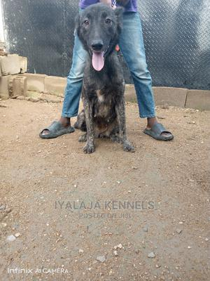 6-12 Month Female Mixed Breed German Shepherd   Dogs & Puppies for sale in Ogun State, Abeokuta South