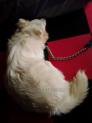 1+ Year Male Purebred American Eskimo | Dogs & Puppies for sale in Abuja (FCT) State, Jahi