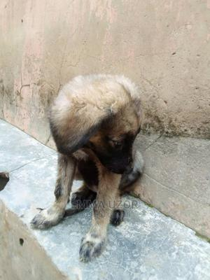 1-3 Month Female Purebred Caucasian Shepherd | Dogs & Puppies for sale in Abuja (FCT) State, Kuje