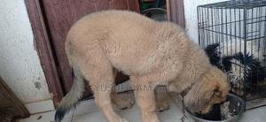 3-6 month Male Purebred Caucasian Shepherd | Dogs & Puppies for sale in Kwara State, Ilorin West