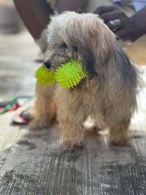 3-6 Month Male Purebred Lhasa Apso   Dogs & Puppies for sale in Lagos State, Ikeja
