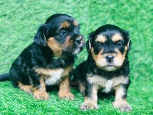 1-3 Month Male Purebred Lhasa Apso | Dogs & Puppies for sale in Imo State, Owerri