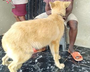 1+ Year Male Purebred German Shepherd | Dogs & Puppies for sale in Oyo State, Egbeda