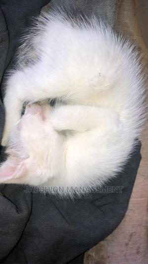 0-1 Month Male Mixed Breed British Shorthair | Cats & Kittens for sale in Lagos State, Victoria Island
