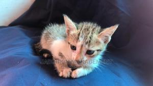 0-1 Month Female Mixed Breed British Shorthair | Cats & Kittens for sale in Lagos State, Victoria Island