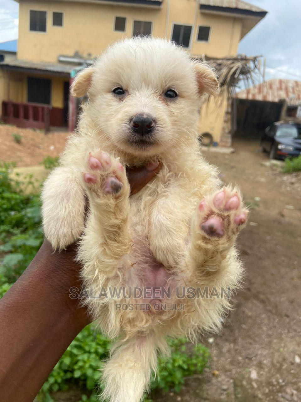 1-3 Month Female Purebred American Eskimo   Dogs & Puppies for sale in Ibadan, Oyo State, Nigeria
