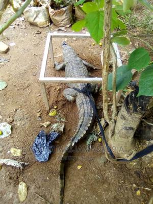 Male Alligator | Reptiles for sale in Abuja (FCT) State, Maitama