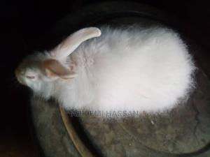 Angora Rabbits for Sale   Other Animals for sale in Ogun State, Odeda
