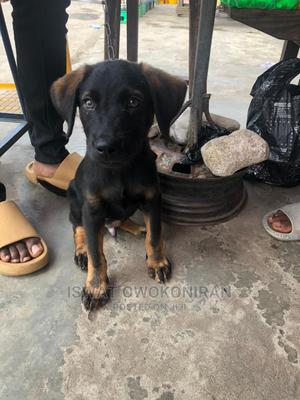 1-3 Month Male Purebred Rottweiler   Dogs & Puppies for sale in Lagos State, Surulere