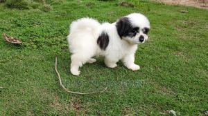 1-3 Month Male Purebred Lhasa Apso | Dogs & Puppies for sale in Lagos State, Amuwo-Odofin