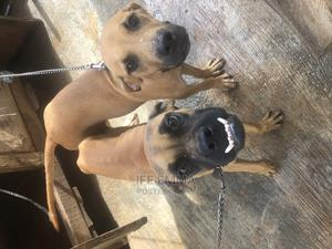 3-6 Month Female Purebred Boerboel | Dogs & Puppies for sale in Ondo State, Akure