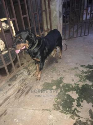 1+ Year Female Purebred Rottweiler | Dogs & Puppies for sale in Oyo State, Ibadan