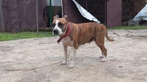1+ Year Female Purebred American Pit Bull Terrier | Dogs & Puppies for sale in Oyo State, Ibadan