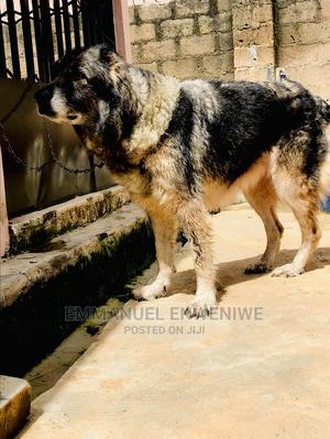 1+ Year Female Purebred Caucasian Shepherd | Dogs & Puppies for sale in Plateau State, Jos