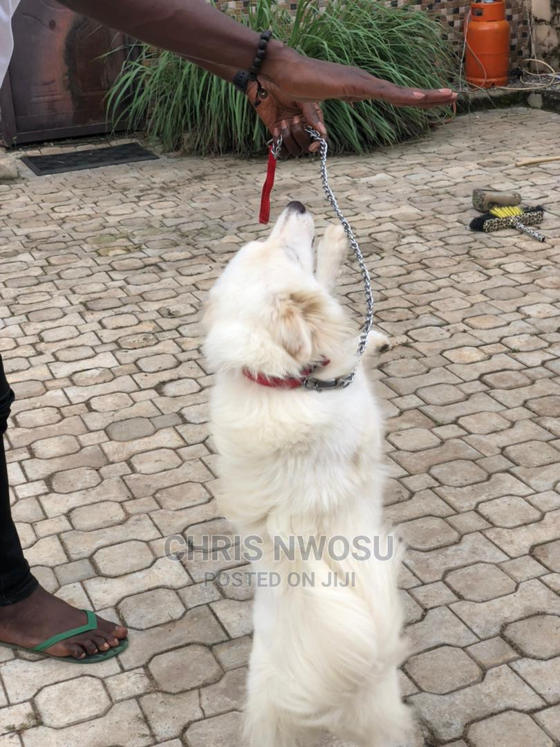 1+ Year Male Purebred American Eskimo | Dogs & Puppies for sale in Lokogoma, Abuja (FCT) State, Nigeria