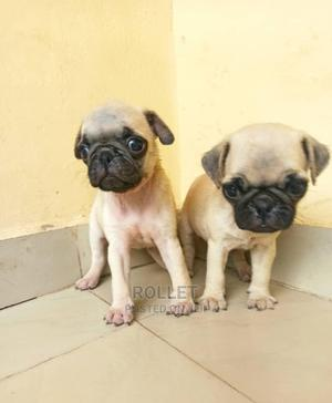1-3 Month Male Purebred Pug | Dogs & Puppies for sale in Lagos State, Ikotun/Igando