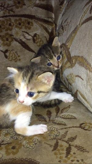 1-3 Month Male Purebred Cat   Cats & Kittens for sale in Abuja (FCT) State, Wuse 2