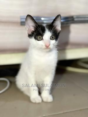 1-3 Month Male Purebred American Shorthair   Cats & Kittens for sale in Lagos State, Maryland