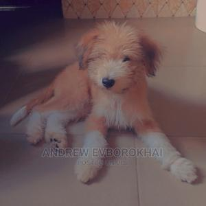 3-6 Month Male Purebred Lhasa Apso   Dogs & Puppies for sale in Enugu State, Enugu
