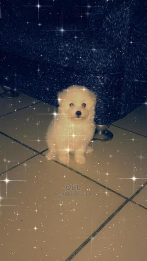 1-3 Month Female Purebred American Eskimo | Dogs & Puppies for sale in Abuja (FCT) State, Lugbe District
