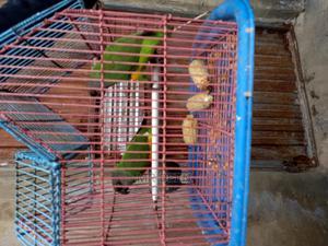 Senegal Parrot | Birds for sale in Abuja (FCT) State, Dei-Dei