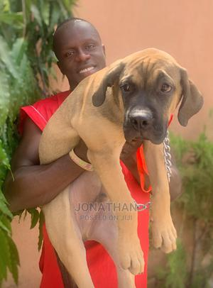 3-6 month Male Purebred Boerboel | Dogs & Puppies for sale in Lagos State, Badagry