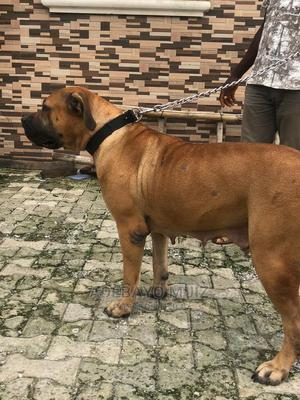 1+ Year Female Purebred Boerboel   Dogs & Puppies for sale in Abuja (FCT) State, Jahi