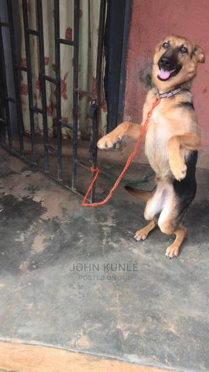 6-12 Month Female Purebred German Shepherd   Dogs & Puppies for sale in Ondo State, Akure